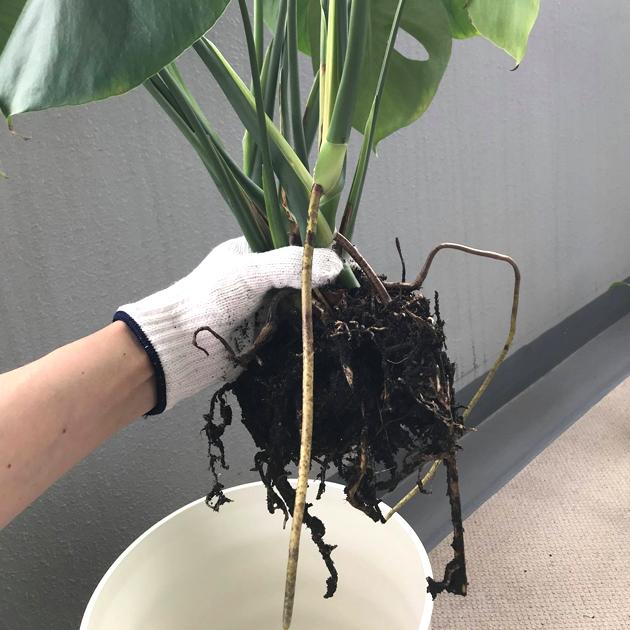 鉢から苗を抜き取り、根に着いた土を落とす